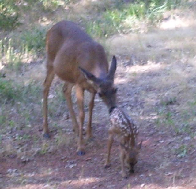 mama deer 010 (2)